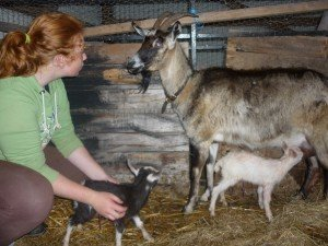 Chèvres p1090446-300x225