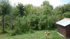 Dernière photo pour aujourd'hui : Framboisier qu'elle a planté il y a... 4 ans !! Et aujourd'hui on a fait de la confiote ! p1090687-300x169